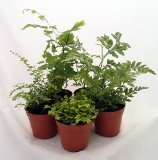 five-terrarium-ferns
